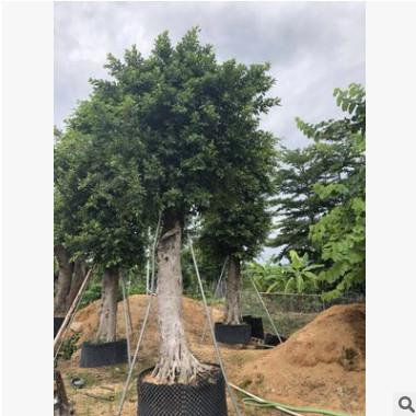 广东小叶榕基地。行道树。市政工程。产地直销。批发价格