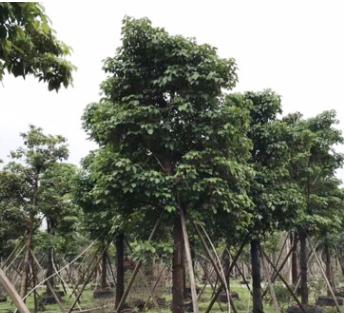 基地供应秋枫树苗树种 园林工程绿化苗木全冠秋枫 精品秋枫移植
