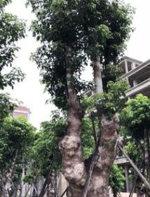 揭阳秋枫树桩头基地青枫苗木园林景观设计别墅风景树种类基地直销
