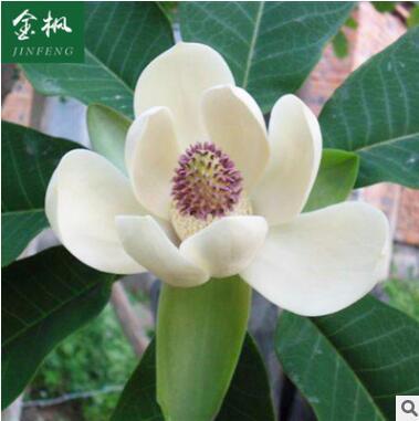 厂家批发日本厚朴 美化日本绿化苗木 绿化工程苗木