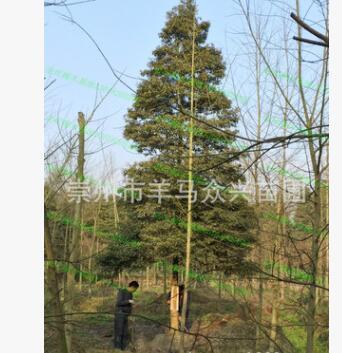 金丝楠批发 从20厘米小苗到10多米高大树