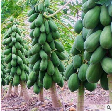 优良番木瓜种子海南红心木瓜籽营养丰富的庭院阳台果树种四季易种