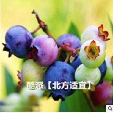 蓝莓树苗种子盆栽地栽蓝梅树果树苗种子