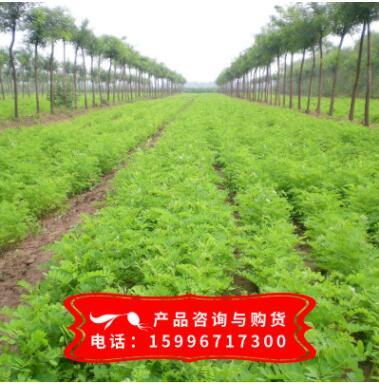 基地批发紫穗槐树苗 紫穗槐苗 紫穗槐 根系发达易成活 苗圃基地
