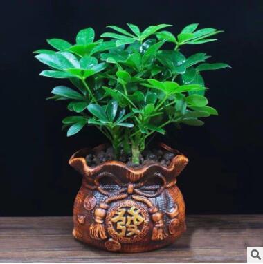 七叶莲八方来财鸭脚木幸福树苗盆栽四季常青办公室内外花卉绿植物