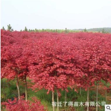 红枫树苗批发日本红枫火焰木彩叶风景行道树庭院工程绿化苗红舞姬