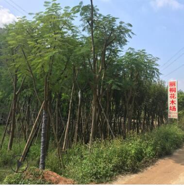 厂家批发凤凰木 红色观花垂枝形凤凰木树 绿化工程苗木基地直销