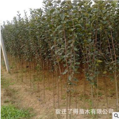 基地直销绿化苗木木瓜海棠 木瓜树苗 毛叶木瓜 量大优惠规格齐全