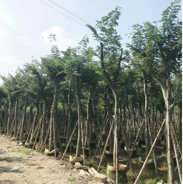 产地供应海南黄花梨木苗木 黄花梨树苗绿化苗木乔木 园林植物量大