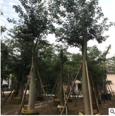 大腹木棉 苗木厂家直销批发 木棉庭院园林景观工程 绿化树木