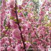 批发优质榆叶梅 精品榆叶梅树苗 庭院观花植物 道路供应绿化工程