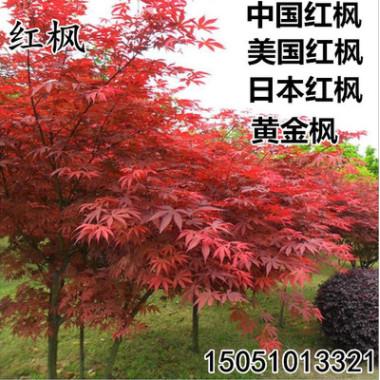 批发日本红枫苗美国红枫树苗中国红四季红黄金枫工程园林绿化苗木