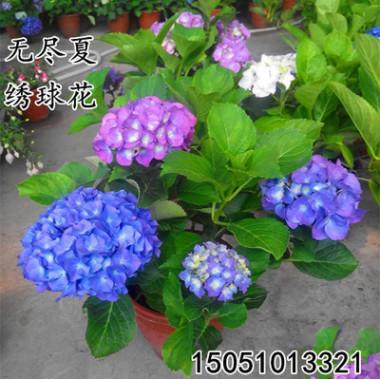 批发无尽夏绣球花苗变色花八仙绣球花苗盆栽花卉室内庭院观赏植物