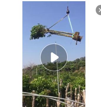 秋枫树苗12-14公分公基地直销青枫大量园林工程苗木供应规格批发