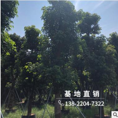 批发精品秋枫树苗30分行道绿化苗木园林景观工程树风景树厂家直销