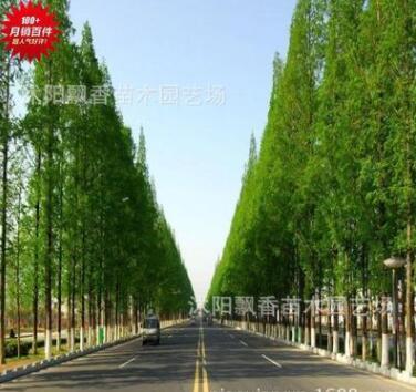 优质水杉 水杉苏北水杉基地直销 水杉各类品种20厘米高-10厘米粗