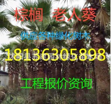 绿化树木 棕榈 棕榈树 老人葵 箬棕 毛棕 中华棕榈