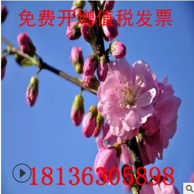 精品榆叶梅树苗批发 庭院盆栽花卉植物嫁接榆叶梅 绿化苗木