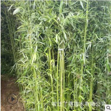基地竹子批发青竹 园林绿化 别墅庭院绿化美观大方 室内盆栽绿篱