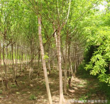 河南复叶槭/青竹复叶槭/量大从优