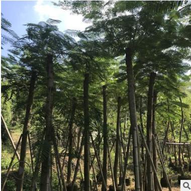 批发光杆凤凰木12分 红花楹树 多种规格绿化工程苗木厂家直销