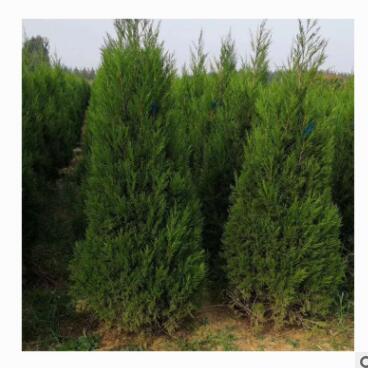 长期种植出售蜀桧根系发达生长旺盛工程园林绿化大量出售蜀桧