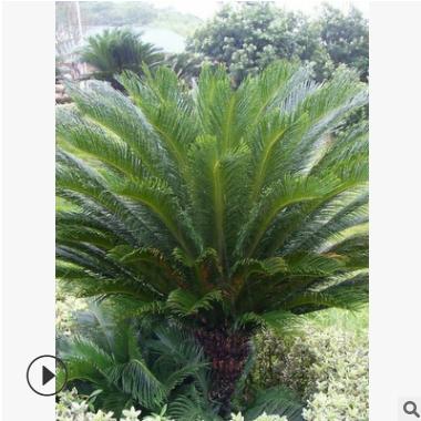 苏铁 萧山 基地直销 铁树 海藻 棕榈 各种规格 绿化批发 价格优惠