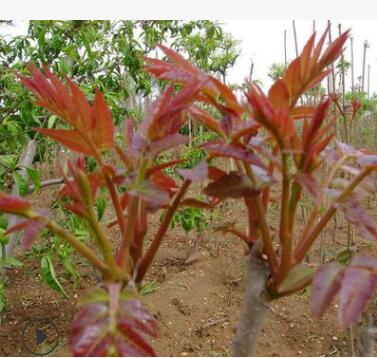 基地供应香椿树 香椿树定制管理 香椿树批发价格