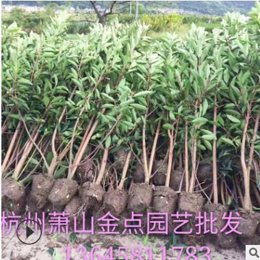 珊瑚树 基地批发 法国冬青 绿篱 品种 规格齐全 青珊瑚