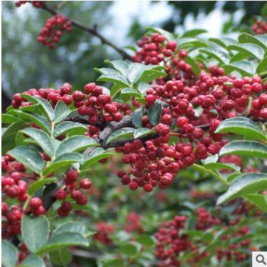 花椒树苗花椒苗正宗高产大红袍麻椒狮子头盆栽地栽南北方种植包邮