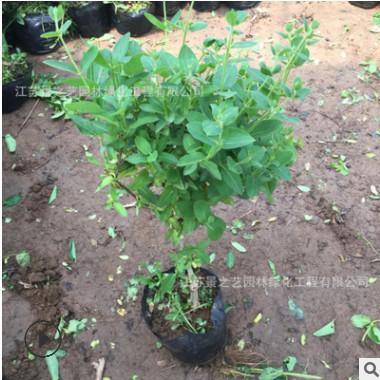 批发金银花盆栽树苗红白花阳台庭院爬墙树桩树苗攀援植物盆栽种植