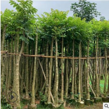 火焰木7分供应 火焰树移植批发 园林绿化树木火焰木基地直销