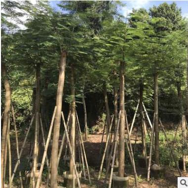 批发光杆凤凰木10分 红花楹树 多种规格绿化工程苗木厂家直销