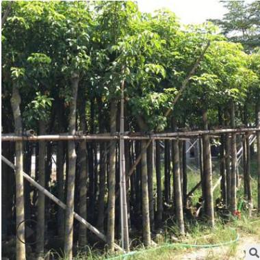 秋枫树10分 绿化苗木秋枫苗 秋枫假植苗 重阳木自家袋装大量供