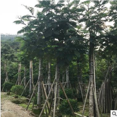 厂家供应蓝洋楹 园林景观绿化工程南洋楹苗 行道风景树基地直销