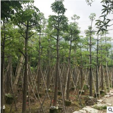 本地木棉现货 落叶乔木园林绿化行道树 树袋苗移植苗规格齐全