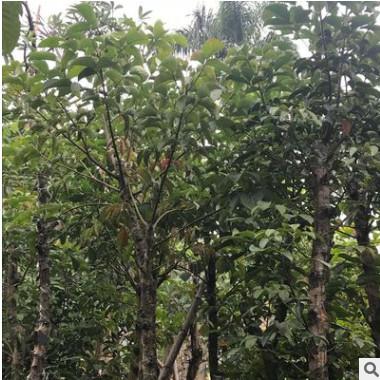 秋枫树5分 绿化苗木秋枫地苗 秋枫假植苗 重阳木自家袋装大量供应