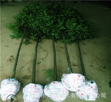 四川雅安金丝楠木原产地供应桢楠金丝楠大容器苗四季种植成活率高