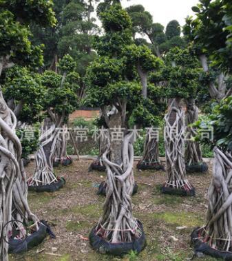 精品造型榕树 抱石根小叶榕 榕树盆景 造型小叶榕