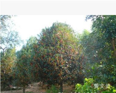 中国丹桂之乡 批发直径20厘米的浦城丹桂 花红叶茂的桂花树 苗木