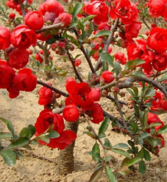 基地海棠树直销 贴梗海棠 红花海棠 品种规格齐全 庭院观花植物