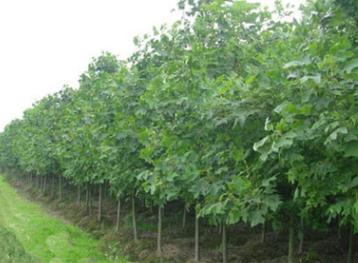 出售绿化 行道树工程苗 马褂木树苗 绿化苗木规格齐全 量大优惠