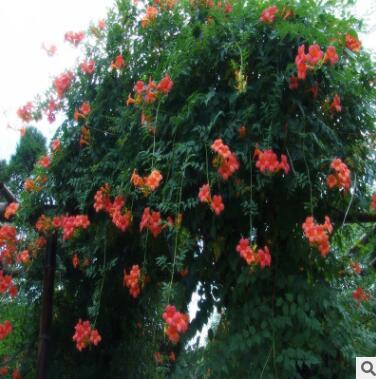 批发凌霄花苗大花爬墙植 庭院绿化爬藤花卉 爬藤超快当年开花
