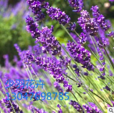 批发普罗旺斯熏衣草种子 法国进口薰衣草种子四季播种 香草种子