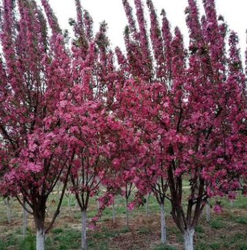 出售出售北美海棠苗 北美海棠 海棠苗木品种批发
