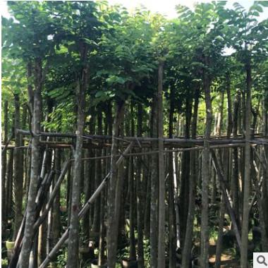 光杆火焰木5分 本地火焰木 地苗和袋苗绿化行道林苗木本地直销