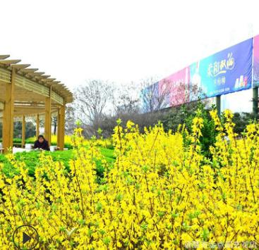 农家直销 迎春花 各种规格 绿化工程 成活率高