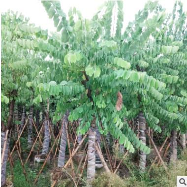 产地直销樱花洋蹄甲 行道庭荫红花羊蹄甲 绿化园林植物羊蹄甲树苗
