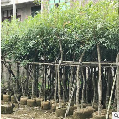 基地直销水蒲桃 绿化园林丛生水蒲桃树苗 行道风景树水蒲桃