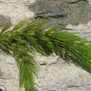 批发供应 金鱼藻 黄花美人蕉 花叶美人蕉 水生植物批发